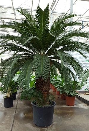 Растения XXL