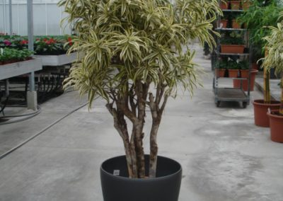 29-dracena-song-of-india-bonsai-big