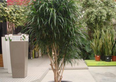35-dracena-anita-bonsai