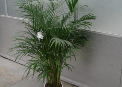 arecaceae-2