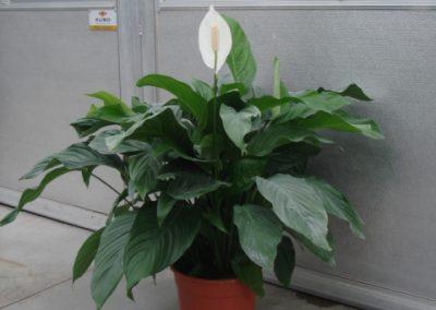 spathiphyllum-1