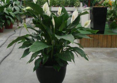 spathiphyllum-2
