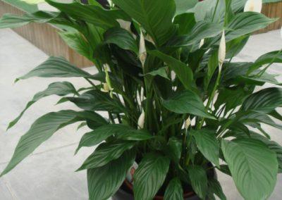 spathiphyllum-3