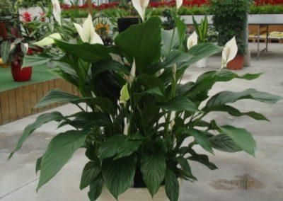 spathiphyllum-4