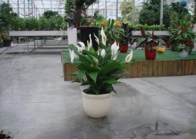 spathiphyllum-5